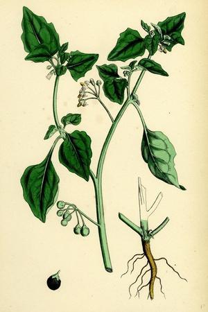 Solanum Nigrum Var. a Black Nightshade--Stretched Canvas Print