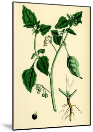 Solanum Nigrum Var. a Black Nightshade--Mounted Giclee Print