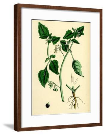 Solanum Nigrum Var. a Black Nightshade--Framed Giclee Print