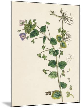 Veronica Buxbaumii Buxbaum's Speedwell--Mounted Giclee Print