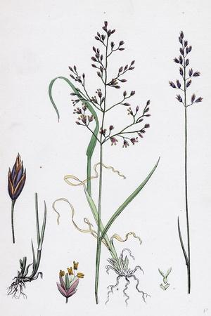 Poa Dissitiflora Glaucous Meadow-Grass--Stretched Canvas Print