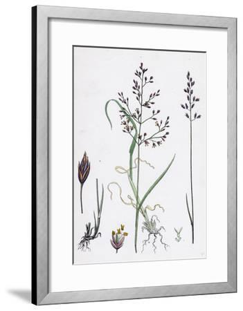 Poa Dissitiflora Glaucous Meadow-Grass--Framed Giclee Print