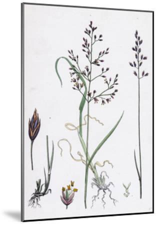 Poa Dissitiflora Glaucous Meadow-Grass--Mounted Giclee Print