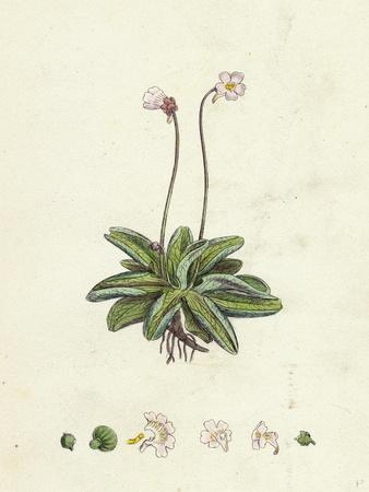 Pinguicula Lusitanica Pale Butterwort--Framed Giclee Print