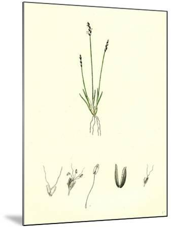 Chamagrostis Minima Early Sand-Grass--Mounted Giclee Print