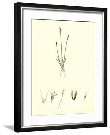 Chamagrostis Minima Early Sand-Grass--Framed Giclee Print