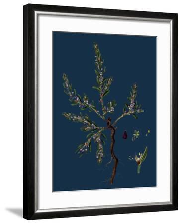 Vicia Lathyroides; Spring Vetch--Framed Giclee Print