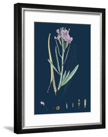 Centaurea Cyanus; Blue-Bottle--Framed Giclee Print