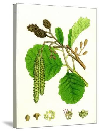 Alnus Glutinosa Common Alder--Stretched Canvas Print