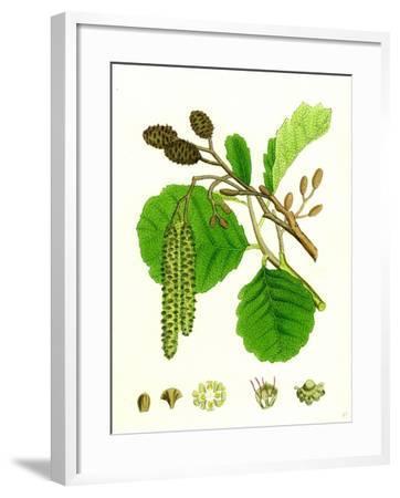 Alnus Glutinosa Common Alder--Framed Giclee Print
