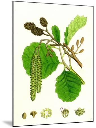 Alnus Glutinosa Common Alder--Mounted Giclee Print