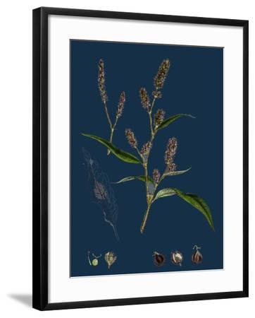 Vicia Cracca; Tufted Vetch--Framed Giclee Print
