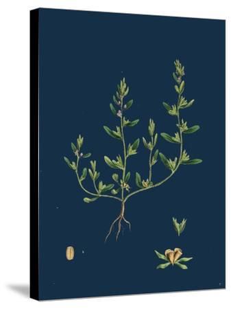 Lathaea Squamaria; Toothwort--Stretched Canvas Print