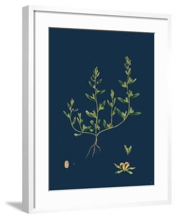 Lathaea Squamaria; Toothwort--Framed Giclee Print