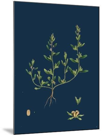 Lathaea Squamaria; Toothwort--Mounted Giclee Print