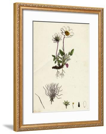 Dryas Octopetala Mountain Avens--Framed Giclee Print