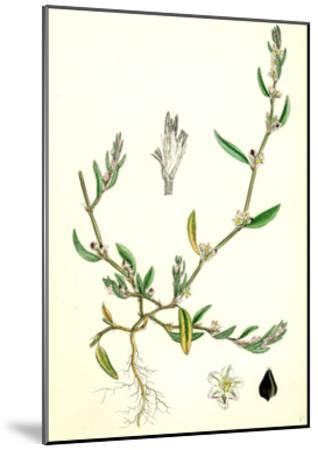 Polygonum Raii Ray's Knot-Grass--Mounted Giclee Print