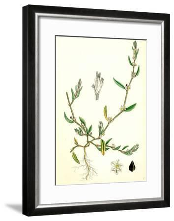 Polygonum Raii Ray's Knot-Grass--Framed Giclee Print