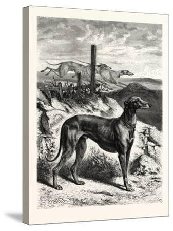 English Greyhounds. after Specht--Stretched Canvas Print