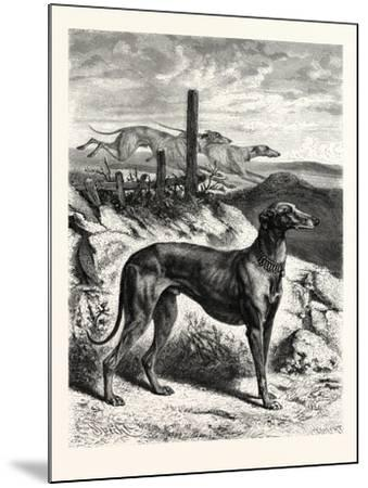 English Greyhounds. after Specht--Mounted Giclee Print