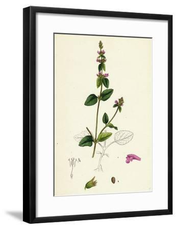 Stachys Arvensis Corn Woundwort--Framed Giclee Print