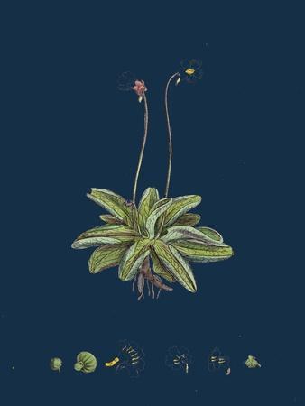 Fragaria Vesca; Wild Strawberry--Framed Giclee Print