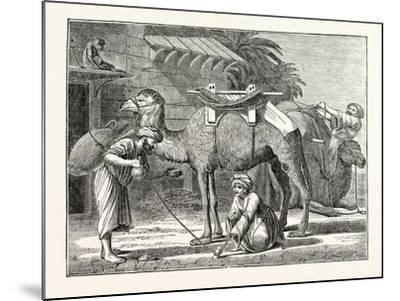 The Arabian Camel--Mounted Giclee Print