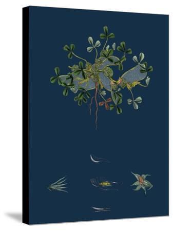Botanical Illustration--Stretched Canvas Print