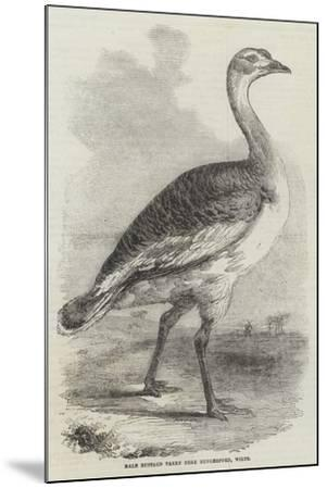 Male Bustard Taken Near Hungerford, Wilts--Mounted Giclee Print