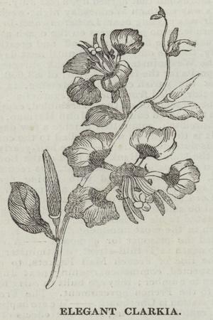 Elegant Clarkia--Framed Giclee Print