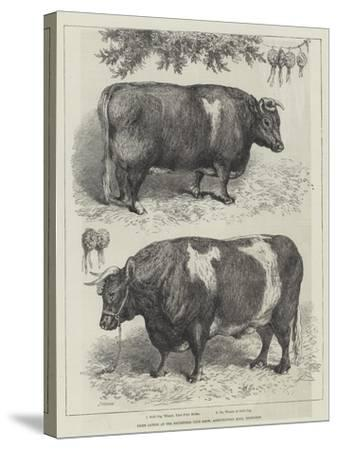 Prize Cattle at the Smithfield Club Show, Agricultural Hall, Islington--Stretched Canvas Print