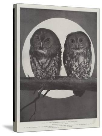 Studies from Life at the Zoological Gardens, Tawny Owls--Stretched Canvas Print