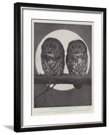 Studies from Life at the Zoological Gardens, Tawny Owls--Framed Giclee Print