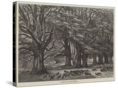 Bushy Brattley During Beechmast--Stretched Canvas Print