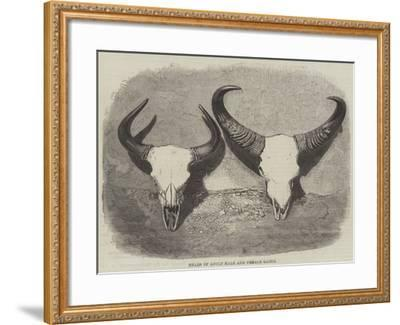 Heads of Adult Male and Female Gaour--Framed Giclee Print