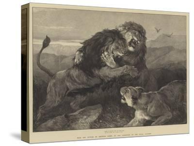 Lions Fighting--Stretched Canvas Print