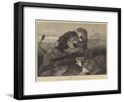 Lions Fighting--Framed Giclee Print