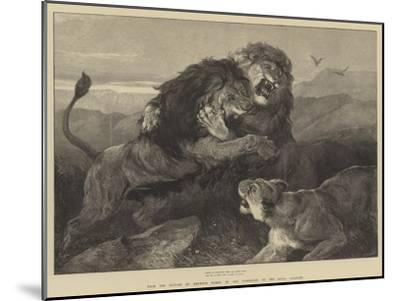 Lions Fighting--Mounted Giclee Print