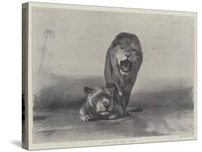 Lions at the Zoo--Stretched Canvas Print