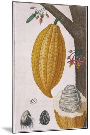 Plant and Fruit of Cacao Tree Theobroma Cacao, Colour Print--Mounted Giclee Print