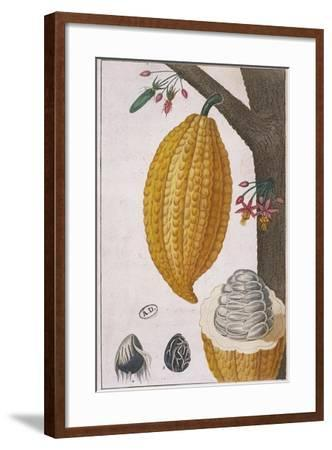 Plant and Fruit of Cacao Tree Theobroma Cacao, Colour Print--Framed Giclee Print