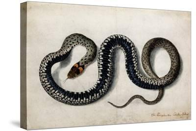 A Grass Snake, C.1675-1700--Stretched Canvas Print