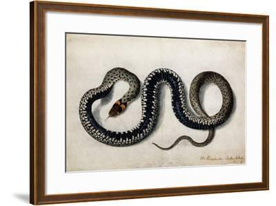 A Grass Snake, C.1675-1700--Framed Giclee Print