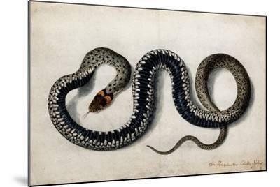 A Grass Snake, C.1675-1700--Mounted Giclee Print