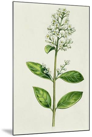 Inflorescence Corncob--Mounted Giclee Print