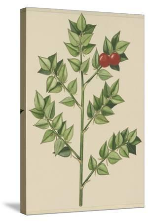 Leaves of Butcher's Broom (Ruscus Aculeatus), Ruscaceae--Stretched Canvas Print