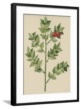 Leaves of Butcher's Broom (Ruscus Aculeatus), Ruscaceae--Framed Giclee Print