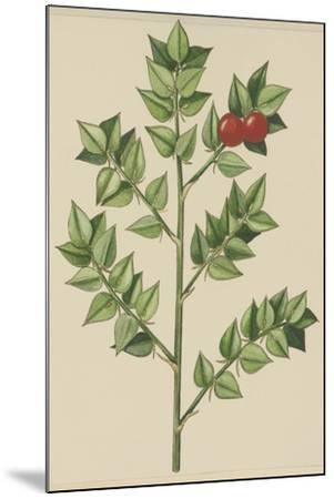 Leaves of Butcher's Broom (Ruscus Aculeatus), Ruscaceae--Mounted Giclee Print