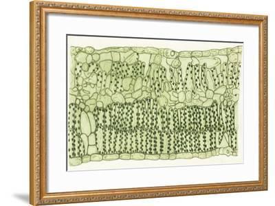 Biology, Leaf of Dicotyledons, Cross Section--Framed Giclee Print