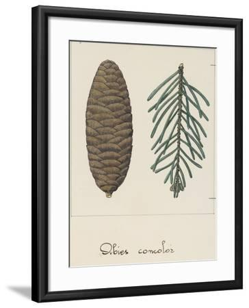 Branch and Pine Cone of White Fir (Abies Concolour), Pineceae--Framed Giclee Print